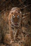 Le tigre de Bengale marche vers l'appareil-photo dans l'herbe images libres de droits