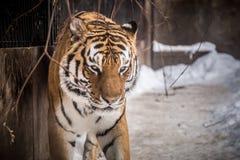 Le tigre de Bengale ou le Panthera le Tigre était cage isolée photographie stock libre de droits