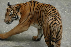 Le tigre de rotation Image libre de droits