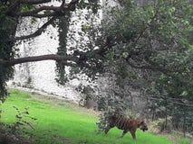 Le tigre marchant dans le zoo à affamé image stock
