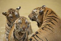 Le tigre masculin indochinois adulte grogne à la femelle photo stock