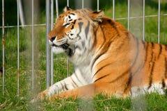 Le tigre rayé se repose dans une cage Images libres de droits