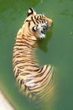 Le tigre refroidit dans l'étang Photographie stock libre de droits