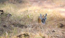 Le tigre regardant prient Photographie stock