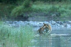 Le tigre sibérien est considéré le plus grand tigre - altaica du Tigre de Panthera images libres de droits