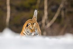 Le tigre sibérien, Panthera le Tigre le Tigre photo stock