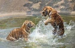 Le tigri gode dell'acqua con tempo caldo Fotografia Stock