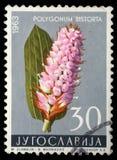 Le timbre imprimé en Yougoslavie montre le bistorta de Polygonum photo stock