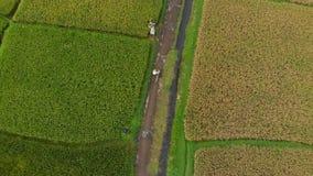 Le tir aérien d'un agriculteur avec un bycile cela se déplace le long d'un chemin au milieu d'un grand gisement de riz Concept de banque de vidéos