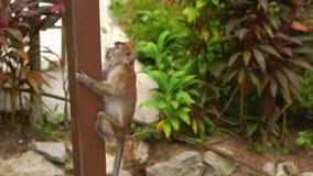 Le tir au ralenti d'un singe de macaque drôle descend le poteau en bois en parc tropical banque de vidéos