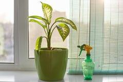 Le tir d'intérieur de la belle plante d'intérieur verte dans le pot et le jet mettent en bouteille près de lui Concept d'accroiss Photographie stock