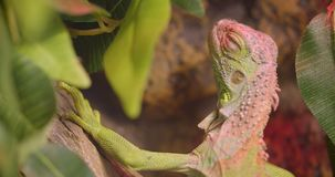Le tir en gros plan de l'iguane vert ouvert et ferme des yeux étant séance calme et paisible dans la forêt tropicale banque de vidéos