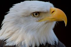 Le tir en gros plan de profil de l'aigle chauve souligne son bec accroché jaune images stock