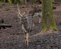 Mâle de cerfs communs affrichés de Yound Images libres de droits