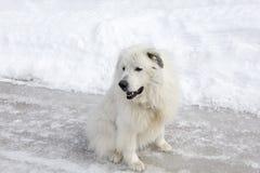 Le tir horizontal de la séance pyrénéenne énorme de chien de montagne a lâché sur la rue glaciale images libres de droits