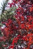 Le tir propre avant vertical du rouge coloré fleurit l'arbre image libre de droits