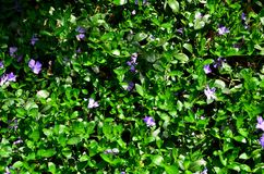 Le tissage fleurit des bigorneaux un temps clair de ressort image stock