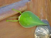 Le titan de Pseudophyllus est des espèces de Bush-cricket, du subfami Images libres de droits