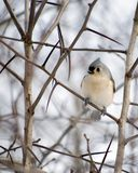 le titmouse tuffed Photo libre de droits