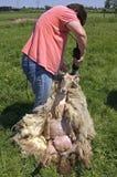 Le tondeur féminin tond un mouton Photo stock