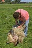 Le tondeur féminin tond un mouton Images stock