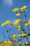 Le topinambour ensoleillé fleurit et le fond de ciel bleu photos libres de droits
