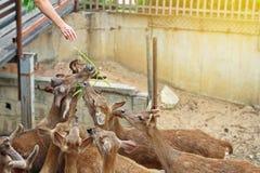Le touriste donnent le vegetale pour que les cerfs communs soient nourriture Photos libres de droits
