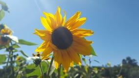 Le tournesol brille contre les cieux bleus clairs Photographie stock