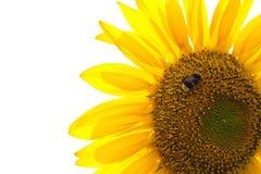 Le tournesol d'isolement avec gaffent l'abeille Photographie stock libre de droits