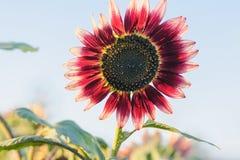 Le tournesol de fleur Photo libre de droits