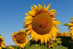 Le tournesol de floraison avec une fin d'abeille  photographie stock