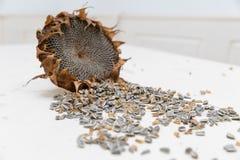 Le tournesol dirige des graines de récolte photographie stock libre de droits