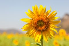 Le tournesol est un type d'arbre photo stock
