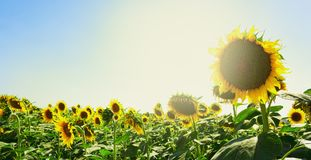 Le tournesol fleurit au soleil Images libres de droits