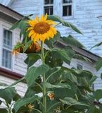 Le tournesol géant en fleur photographie stock