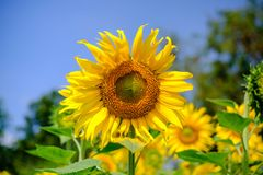 Le tournesol jaune lumineux se mélange avec le soleil chaud Photo stock