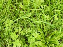Le trèfle à quatre feuilles caché en cette herbe les met en place, trouve ! image stock