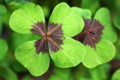 Le trèfle à quatre feuilles est une culture tubéreuse Photo stock