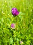 Le trèfle fleurit au soleil dans le domaine Image libre de droits