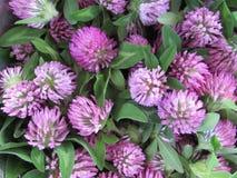 Le trèfle violet fleurit et part du fond Image libre de droits