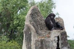 Le trône des troglodytes de roi-Chimpanzé-casserole Photo libre de droits