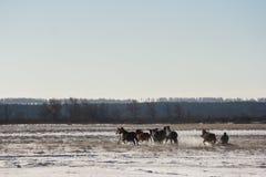 Le traîneau de cocher conduisant des chevaux Images libres de droits