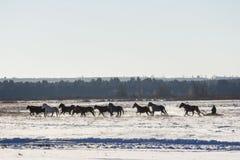 Le traîneau de cocher conduisant des chevaux Images stock