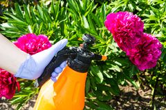 Le traitement du jardin fleurit des parasites et des maladies photographie stock