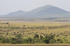 Le transfert grand dans le masai Mara photographie stock