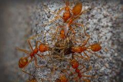 Le travail d'équipe de la fourmi Images stock