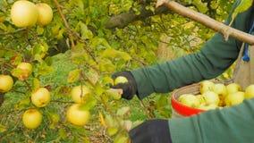 le travailleur place les pommes golden delicious dans le sac d'une récolteuse clips vidéos