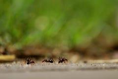 Le tre formiche Fotografie Stock