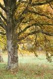 le tree för fall Arkivbilder