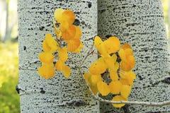 Le tremble jaune part avec le tronc d'arbre de tremble, Rocky Mountains, Colo image stock